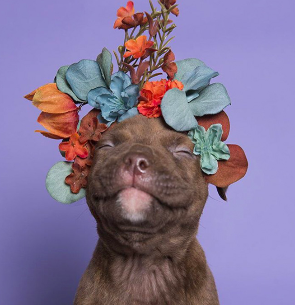 Dog of the Month April Edition - The Pit Bull! - K9 Gentle Dental